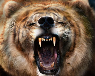 Lion, Tiger, Bear merged image