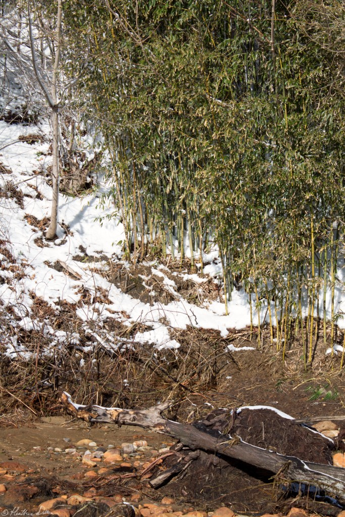 portrait of bamboo in snow
