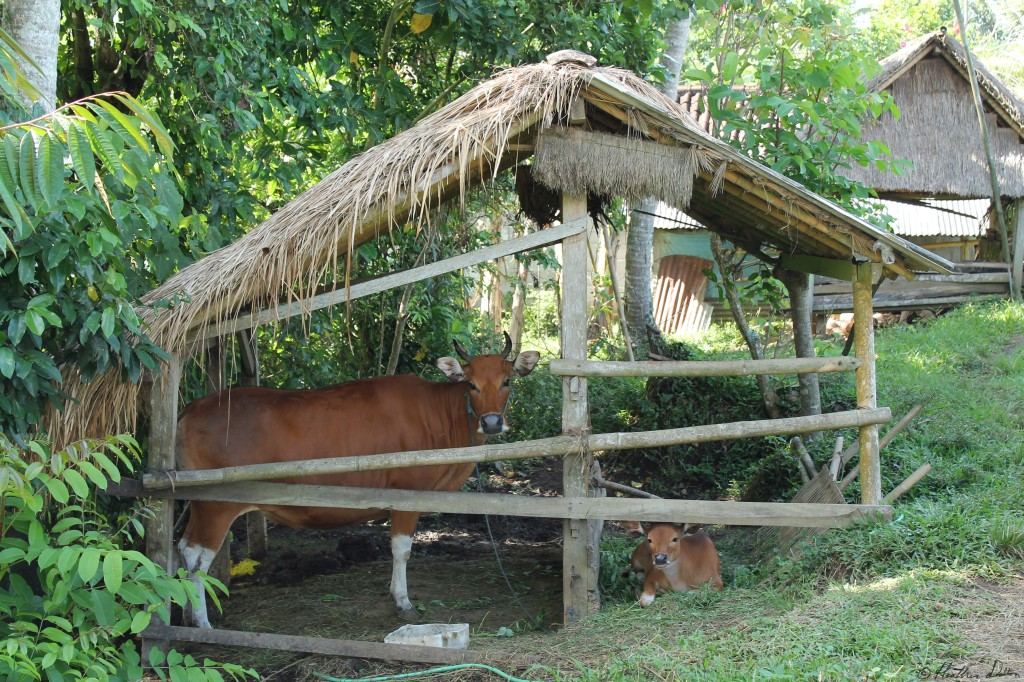 Photograph of cow farm Ubud Bali