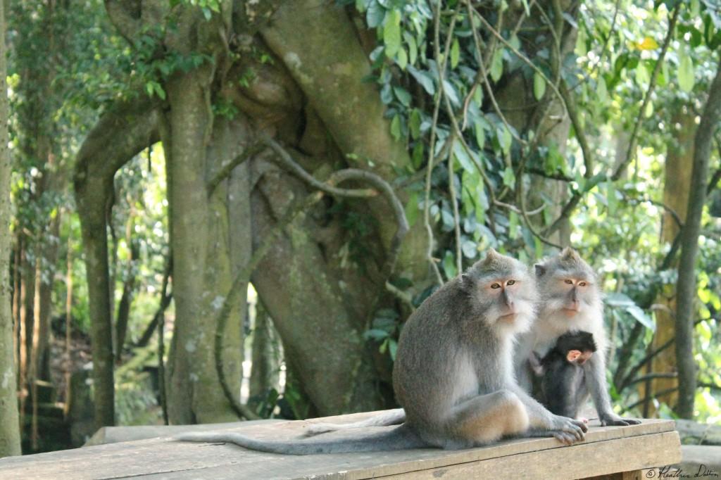 Monkey family Monkey Forest Ubud Bali