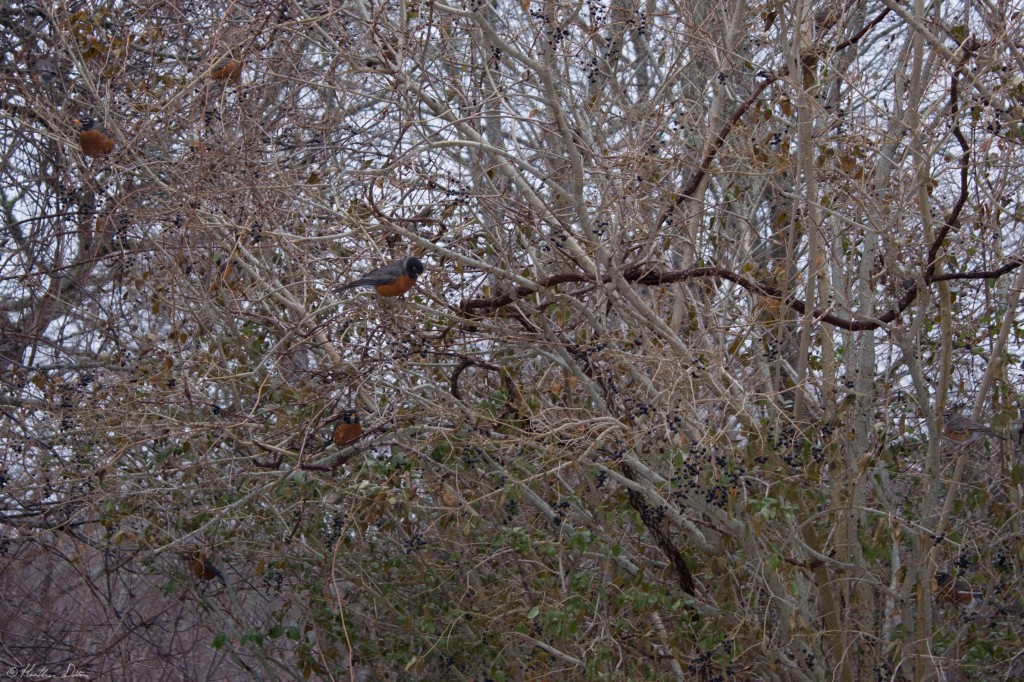 Photograph of Robins in Nature
