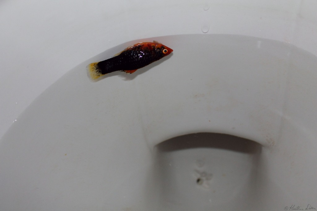 photograph dead fish in toilet